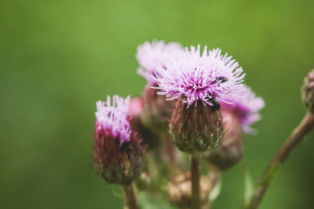 Natural Remedies Milk thistle